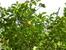 На лимонном дереве как-то одновременно уместились цветы и вполне зрелые лимоны.