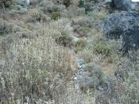 Являясь почти уникальным в своем роде, диктамос знают как свойственное для Крита растение.Критский диктамос, который встречается редко, растет сам по себе ...