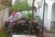 Кусты гортензии есть практически в каждом дворе