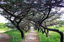 а этот коридор, образованный необычными изогнутыми деревьями, ведёт на, так называемый, балкон, с которого открывается красота пейзажей острова