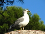 Пожалуй, это мой лучший кадр чайки испанской в этой поездке! Я к ней подкрадывалась долго, и она, похоже, мне позировала :)))