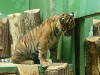 маленький тигруля
