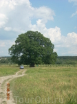 Суворовский дуб.