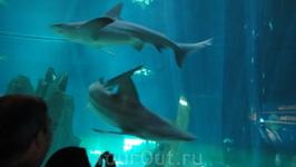 Акулы в большом аквариуме стеклянном