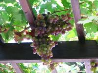 очень сладкий виноград! (фото сделано при выходе из Фестского дворца)