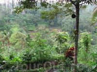 Рисовые террасы, вид с фруктовых плантаций.