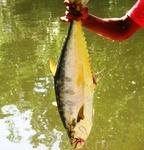 Вот такую рыбину можно поймать не удаляясь от отеля.