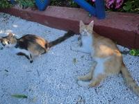 Греческие островные кошки. Такое впечатление, что завезли одну породу.
