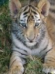 тигреята там тоже есть
