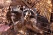 о. Закинтос. Природный парк Аскос. Еноты-попрошайки)