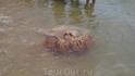 Вот такая медуза приплывала на пляж Бэдайхе. Хрустальное мясо для китайцев)