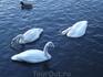 лебеди (которых все кормят)