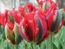 Тюльпаны в парке Гюльхане