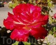 Розы Греции.