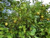 Мм..лимончики...пытались украсть. Один съели...без сахара.