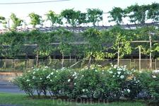 Цитрусовые сады и виноградники