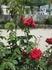 Розы судацкие 1.