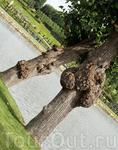 Такая интересная конфигурация деревьев
