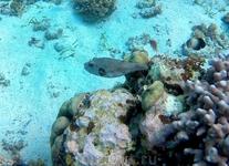 Абориген рифа, такифугу.