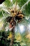 За кокосами на обед приходится на пальму залезть