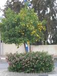 Ноябрь на Кипре - время созревания мандаринов