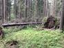 Поваленные в лесу деревья не убирают - экосистема должна сохраняться.