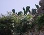 на острове Спиналонга. Говорят это самый большой кактус.... Можно даже попробовать его плоды в августе.
