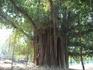 толстое дерево.баньян? фикус бенгальский? кто ответит ?
