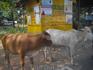 священные коровы