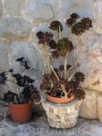 Каменная роза - разновидность кактуса. Тот же дворик