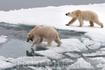 Ледокольное фотосафари на белых медведей