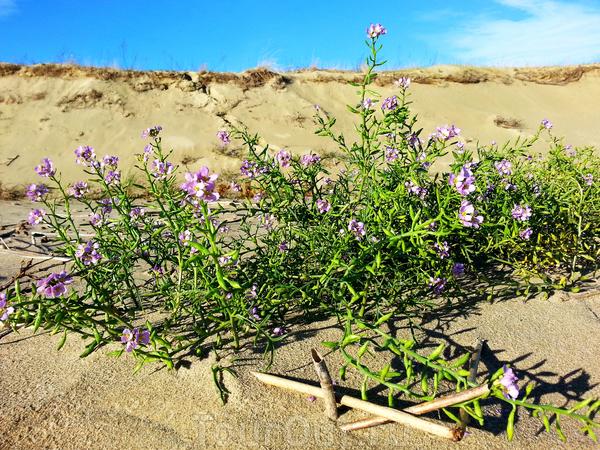Цветы на дюнах