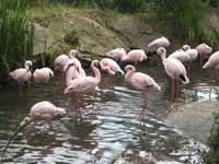 И снова фламинго, но эти поменьше и посветлее
