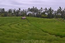 Рисовые поля.
