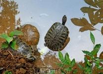 Черепашки - фауна любого водоёма и основа супа.