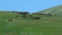Везде на плато Лаго-Наки табуны лошадей!