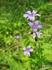 Герань (Geraniaceae) Саянская в долине р. Орзагай