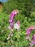 Цветы долины р. Орзагай.