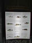 Описания рыб Белого озера.