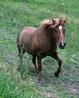 Норвежская фьордская - особая порода лошадей в Норвегии.