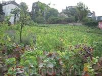 виноградник Монмартра (о качестве вина остается только догадываться)
