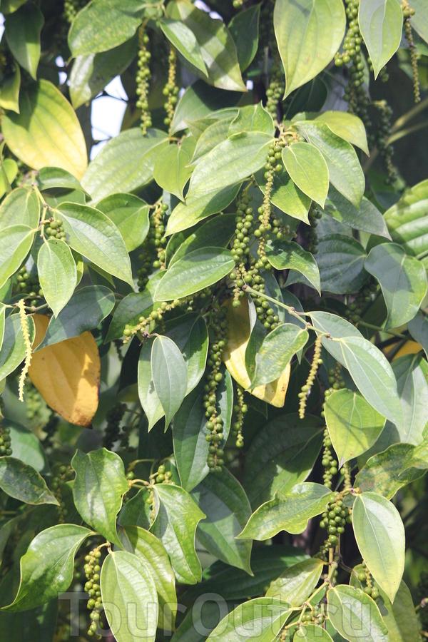 Так растёт перец. Местный считается самым лучшим во Вьетнаме.