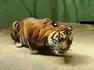 Тигр обедает. Пражский зоопарк