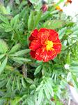 Этот цветочек вообще то рос на клумбе возле памятника Ленину