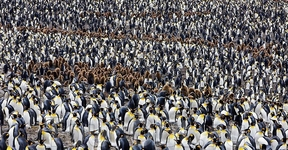 Пингвины как люди Автор: Пол Никлен (Paul Nicklen)