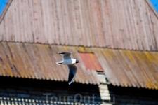 Чайка в полёте
