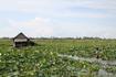 Камбоджа Лотосовое поле