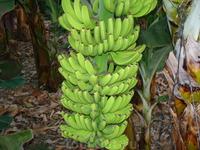 Гроздья бананов. Могут весить от 15 до 60 кг )))