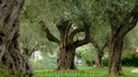 Оливковая роща, деревьям почти по 1000 лет