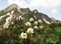Альпийские розы